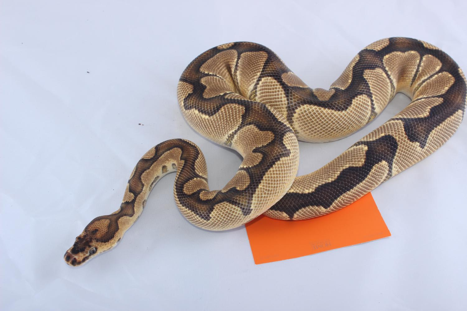 Python regius Reduced pattern, fawn-colored clown 100% het caramel albino proven breeder
